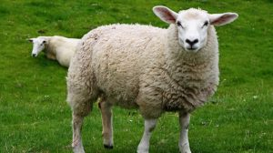 sheep-white-offal