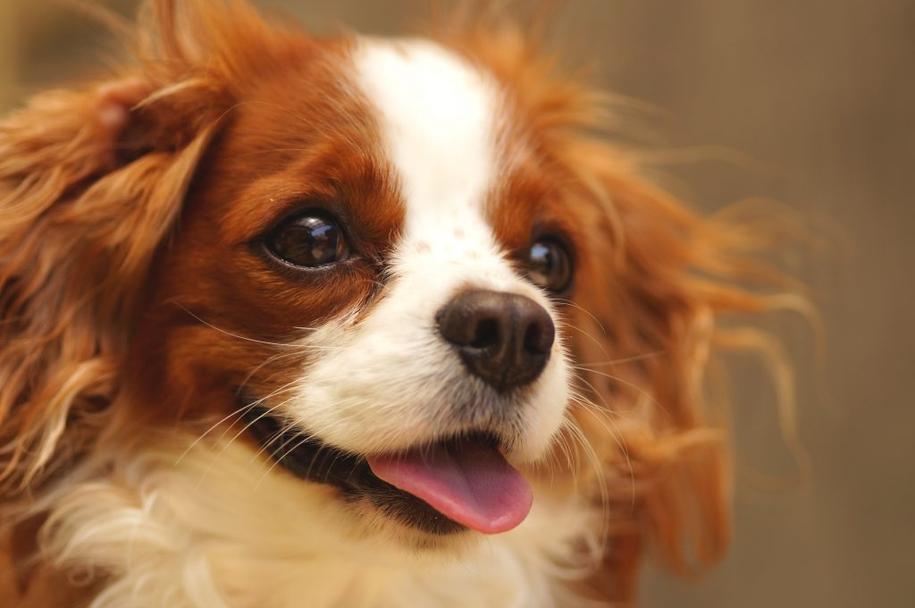 Dog キャバリア
